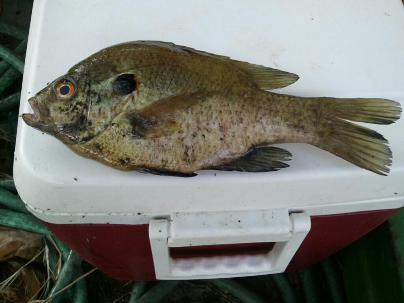 Southern sportsman aquatics land management lunker for Shell cracker fish